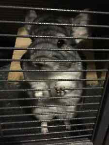 10 months old female chinchilla looks for a warm home
