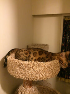 Retired Bengal Female For Sale
