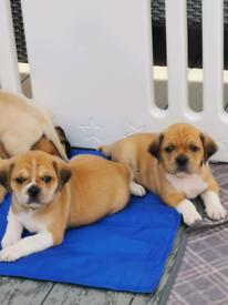 Puggle puppies puppy pups