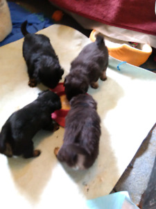 Toy size mixed puppies , $ 550.00.