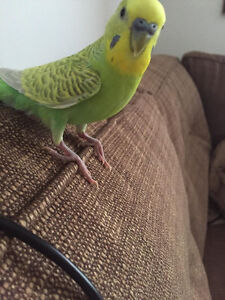 Perruche Budgie lost in Montreal West