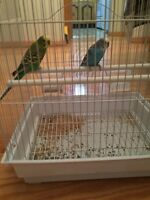 Baby budgies ready to breed for sale