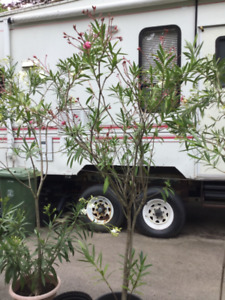 Plants, oleanders 5' tall, pink or white blossoms