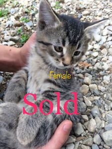 ALL SOLD! THANK-YOU FOR GIVING THE KITTENS WONDERFUL HOMES!!!