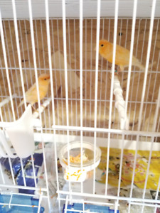 Pair of Canaries with Cage