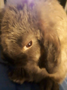 Cute cuddly Holland lop bunny for sale
