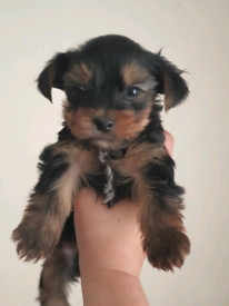 Tcup Yorkshire terrier boy puppy. Very fluffy!