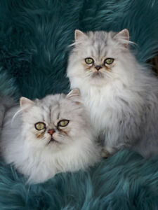 MAGNIFIQUE PETIT CHATONS  PERSAN CHINCHILLA BLEUE SHADED