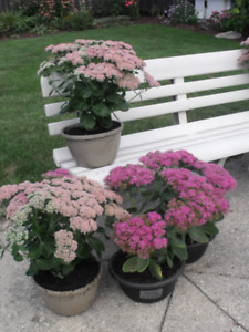 Potted Fall Perennial beauties