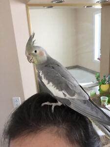 Cockatiel 6 months