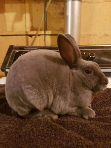 Purebred Pedigreed and Tattooed 15 week old Blue Mini Rex Doe