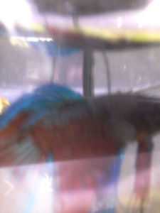 UPDATED/ Betta fish for sale