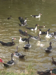 PRICE REDUCED FOR QUICK SALE!!!!!! Muscovy  Ducks For Sale