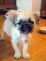 pug/Yorkshire  needs a lovely home