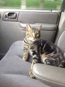 """LOST male brown tabby """"Boozer"""""""