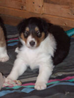 Rough Coated Collie Pups