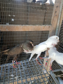 Multiple pairs of Brunner pouters pigeons