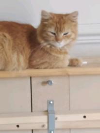 1 Female Torbie Kitten left for Sale