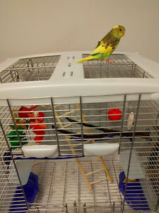 Tamed Female Budgie (include ALL accessories)