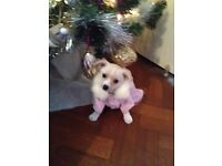 Beautiful fluffy chihuahua pup ready to go to her new home