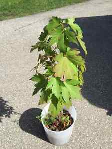 Maple tree plant for sale perennials garden landscaping