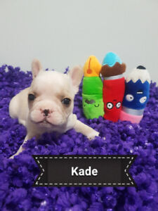 Beautiful Quality French Bulldog Puppies Creams, Blue Fawns