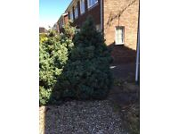 Fir hedge of 5 trees