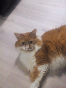 8 year old orange and white male tabby