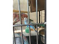 Three budgies for sale