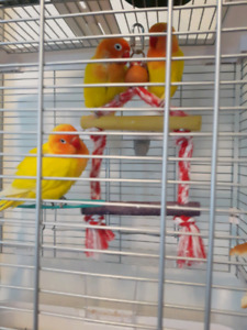 Breeding pair of Lutino lovebirds +one baby