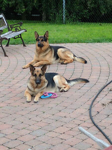 Berger Allemand - Européen - German Shepherd 3 males disponible