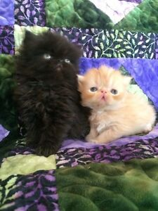 Beautiful Persian Kittens! Registered!