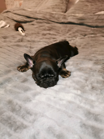 French bulldog girl For Sale ready to leave