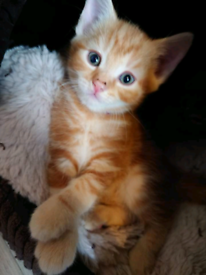 Ginger kittens male and female for sale