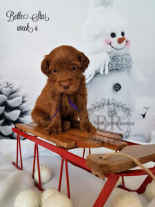 free puppies kijiji in calgary buy sell save with canada s