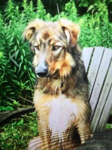 Lost Dog - Collie German Shepard mix