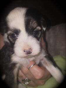Chinese Crested Powder Puff girl avail for Reservation ...