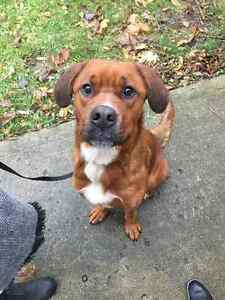 Found Male Dog  - Small Mixed Breed - Red and White