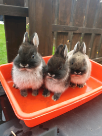 Netherlands baby rabbits