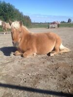 Miniature horse ( under 34 inch tall)