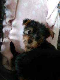 Mini Yorkie/yorkshire terrier pups