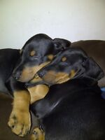 DOBERMAN PUPS FOR SALE