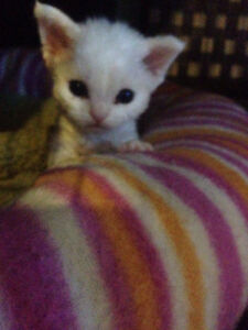 DEVON REX KITTENS PUPPY IN A CAT SUIT PERSONALITY +