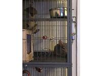 Three male chinchillas and cage