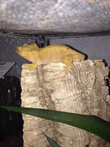 RTB Male Crested Gecko for Sale!