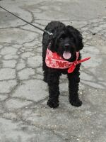 **Adorable Obe - COCKAPOO cross is available for adoption****