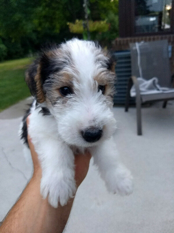 Wire Haired Fox Terrier / Wire Fox Terrier Puppies | Dogs & Puppies ...