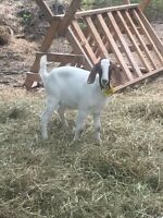 Nice young Nubian nanny goat for sale