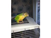 Green Cheek Conures with cage £75