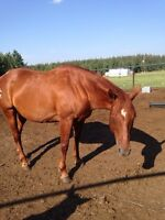 Papered quarter horse brood mare, 500.00